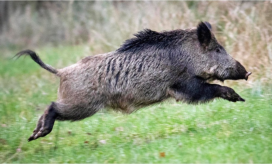 Get Paid to Kill Feral Hogs